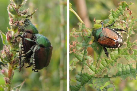 Due immagini di popillia japonica adulta fornite dal Servizio fitosanitario del Cantone Ticino